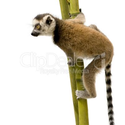Lemur tail png